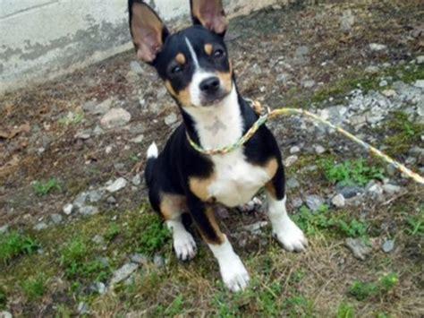 dogs mixed breeds small breeds australian