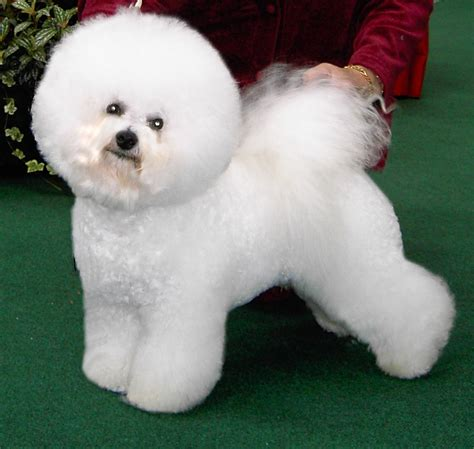 list non shedding hypoallergenic dogs pictures hypoallergenic dogs hypoallergenic no shed dogs