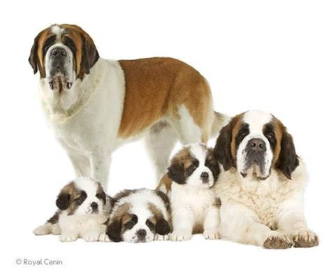 bernard dogs haired and haired most don t there is a smooth