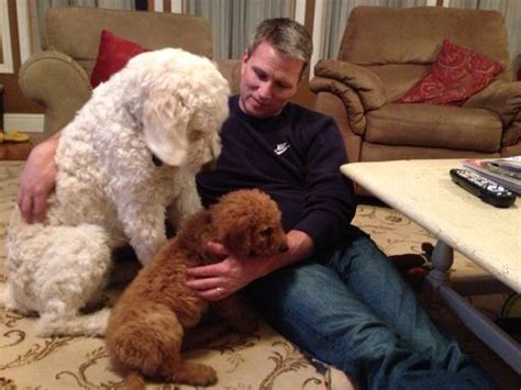 teddy standard f1 goldendoodle and new