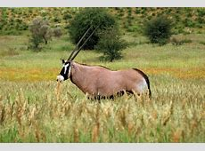 Oryx National Animal Of Qatar Oryx 123Countriescom