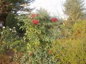 Sichtschutz Pflanzen Blühend : schnellwachsender strauch als sichtschutz mein sch ner garten forum ~ Markanthonyermac.com Haus und Dekorationen