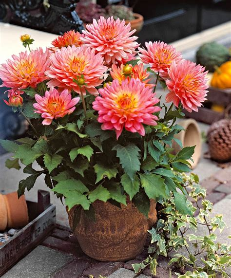 gardening tips to grow dahlias nurserylive gardening in india