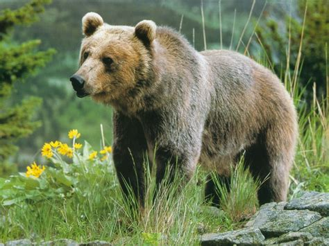 Cute Bear  Wild Animal  Wild Life