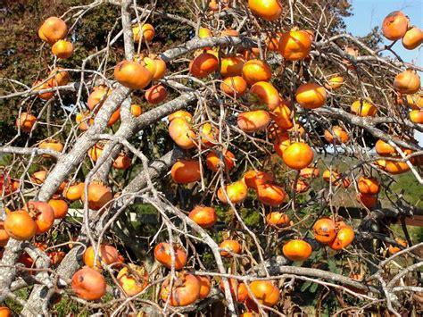 Oriental Persimmons Grow Well In East Texas Soil