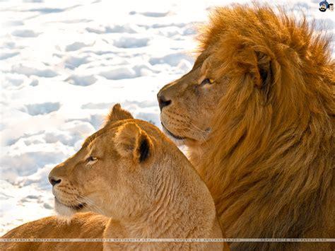 Lions Wallpaper #21