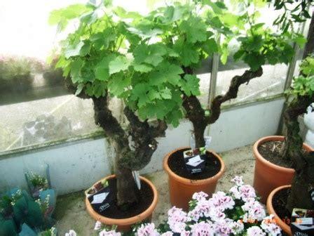 cultiver la vigne en pot
