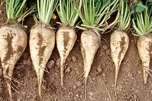 Sugarbeet Production at 7.5m Tons | Financial Tribune
