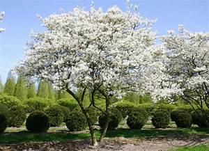 Baum Für Schattigen Vorgarten : amelanchier lamarckii f g schroeder snowy mespilus pflanzen null bruns site ~ Markanthonyermac.com Haus und Dekorationen