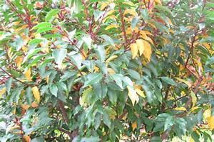 Lorbeer Gelbe Blätter : portugiesischer kirschlorbbeer wird gelb mein sch ner garten forum ~ Markanthonyermac.com Haus und Dekorationen