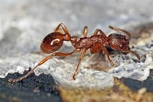 Mittel Gegen Rote Ameisen : myrmica rubra rote gartenameise ameisen formicidae unterfamilie knotenameisen myrmicinae ~ Whattoseeinmadrid.com Haus und Dekorationen