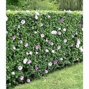 Sichtschutz Pflanzen Blühend : hibiskus hecke 10 pflanzen baldur garten gmbh garten hecke pinterest garten hibiskus ~ Markanthonyermac.com Haus und Dekorationen
