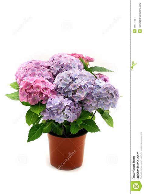 hydrangea hortensia in de pot royalty vrije stock afbeeldingen beeld 11117179