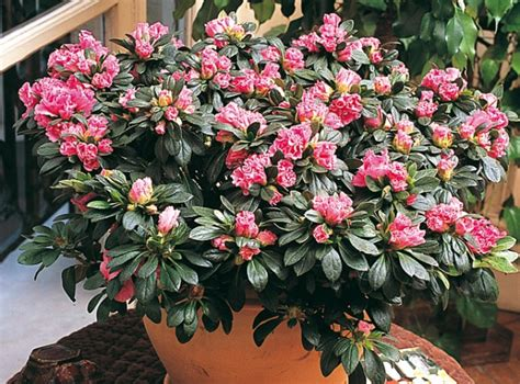 cultiver l azal 233 e des fleuristes