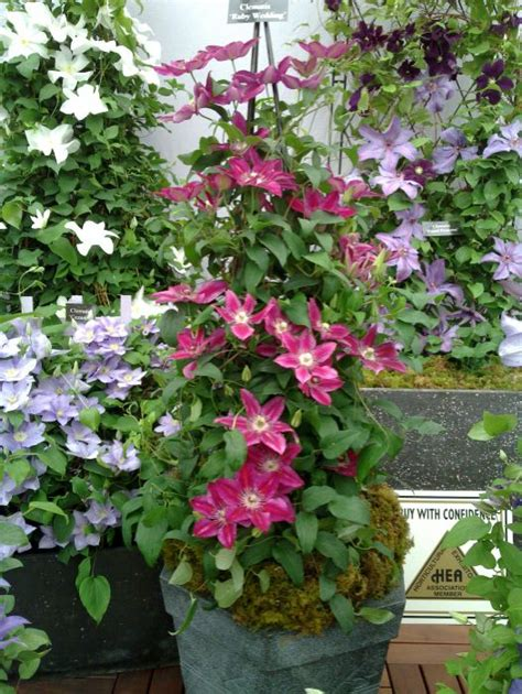 clematis ruby wedding taylors clematis