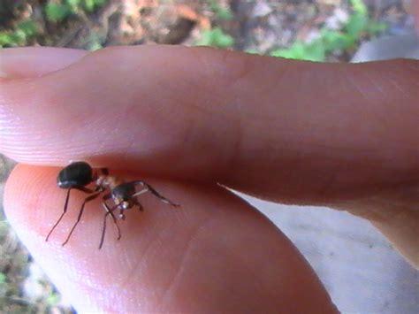 Waldameisen Im Garten  Europäische Ameisenarten & Allgemeines