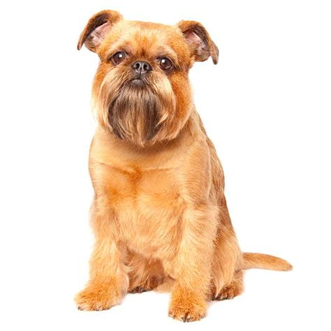 brussels griffon brussels griffon pet insurance