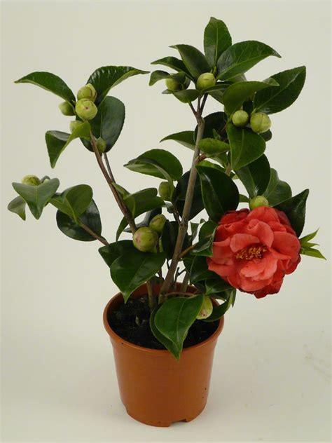 plants flowers 187 camellia japonica