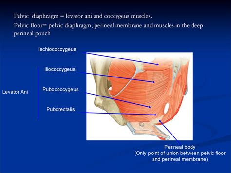 pelvic аnatomy презентация онлайн