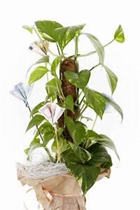 Zimmerpflanze Lange Grüne Blätter : efeutute pflege vermehrung ~ Markanthonyermac.com Haus und Dekorationen