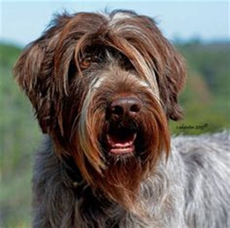 1000 ideas about wirehaired pointing griffon on