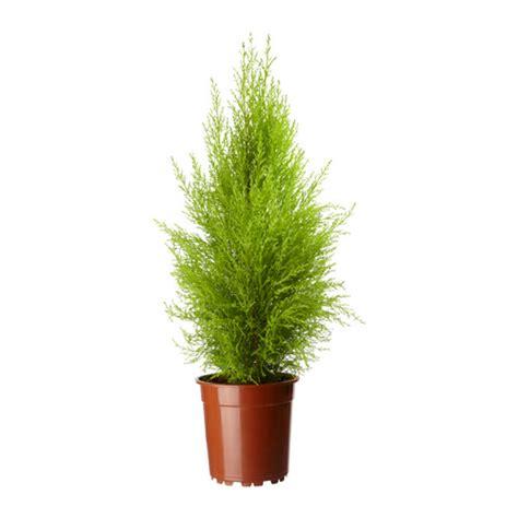 cupressus macrocarpa plante en pot ikea