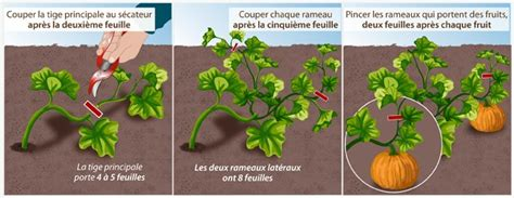 tailler les plantes coureuses au potager potager