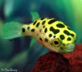 25 best ideas about freshwater aquarium fish on freshwater fish tank aquarium fish