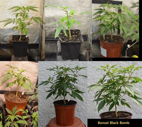 comment bien arroser les plantes de cannabis du growshop alchimia