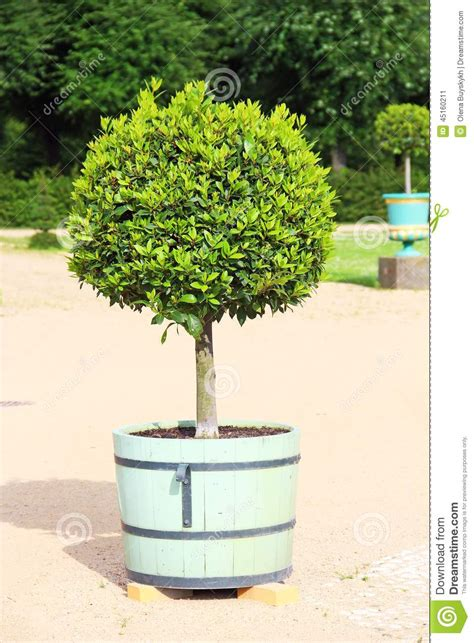 petit arbre topiaire dans le pot photo stock image 45160211