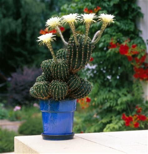 cactus et plantes grasses entretien rempotage gamm vert