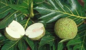 d 233 finition arbre 224 artocarpus altilis futura plan 232 te