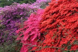Sind Ranunkeln Winterhart : rhododendron winterhart machen so berwintert er am besten ~ Markanthonyermac.com Haus und Dekorationen