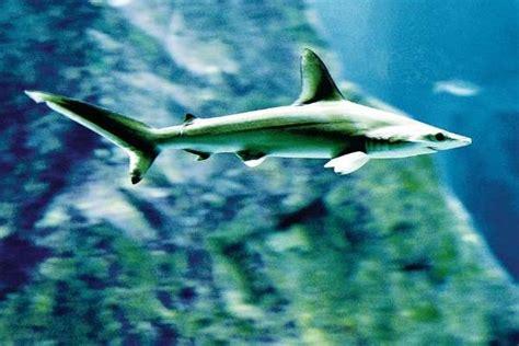 ces requins vedettes 224 biarritz sudouest fr