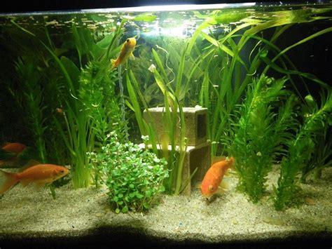 aquarium de 60l avec poissons rouges