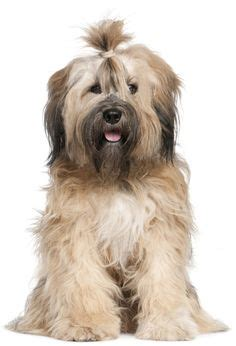 1000 ideas about tibetan terrier on terriers