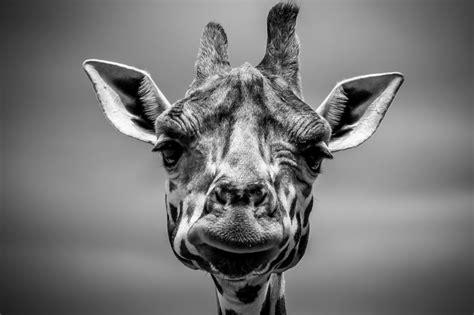Free Images  animal, giraffe, head and black, white