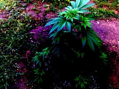 culture de cannabis en ext 233 rieur le guide dispens 233 par un pro