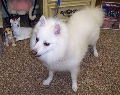 the healthy grooming the american eskimo