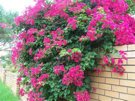 Pictures Of Bougainvilleas  Photo Gallery