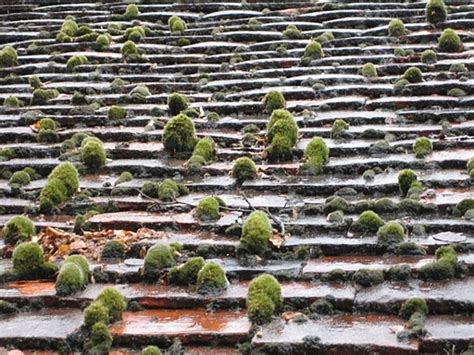 Clumps Of Moss Growing On A Terra Cotta Tile Roof