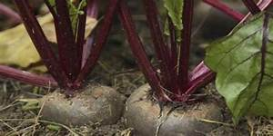 cultivation of sugar beet in india | Agri Care