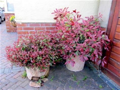 le photinia un arbuste persistant au feuillage pour tous les jardins