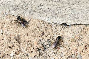 Larven In Der Erde : solit rbienen single leben ohne hofstaat nabu ~ Markanthonyermac.com Haus und Dekorationen