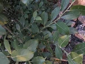 Lorbeer Gelbe Blätter : lorbeer schneeball viburnum tinus g nstig online kaufen ~ Markanthonyermac.com Haus und Dekorationen