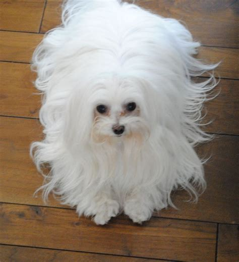 25 best ideas about maltese haircut on maltese dogs maltese and baby maltese