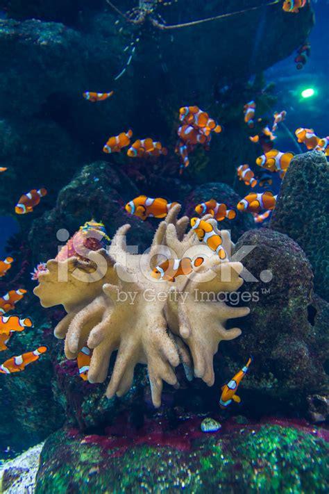 poissons clown et zebrasoma jaune poisson en aquarium photos freeimages