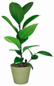 Zimmerpflanze Lange Grüne Blätter : zimmerpflanze gummibaum 120 cm online kaufen otto ~ Markanthonyermac.com Haus und Dekorationen