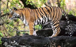 Tiger and Wildlife Tours- The Backbone of India Tourism