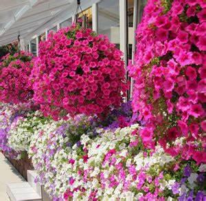 Die Schönsten Balkonpflanzen : balkonblumen balkonpflanzen richtig berwintern ~ Markanthonyermac.com Haus und Dekorationen